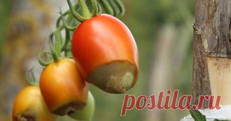 Вредные советы: 7 вещей, которые не стоит делать с томатами в теплице Разбираем самые частые ошибки, которые допускают огородники в процессе выращивания томатов в закрытом грунте.