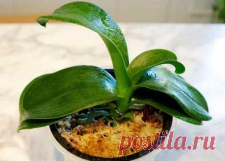 Como salvar la orquídea, si las raíces se han podrido | el Resplandor de la Vida