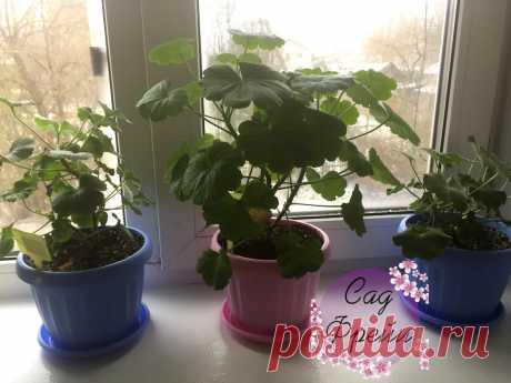 Сохраняю герань зимой в квартире ⚡ Рассказываю, что действительно важно растению. Весной - будет пышный куст! | Сад Фрейи | Яндекс Дзен