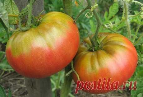 Прикорневую зону томата рыхлить мелко, чтобы не повредить корни. Поливать томат лучше по бороздам, особенно в холодную погоду. Этим можно избежать заболеваний, осыпания цветов и завязей. Плоды томата дольше сохраняются, если их убрать утром и уложить, в один ряд плодоножкой вверх.