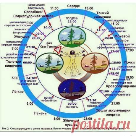 Биологические часы организма человека.  Наши предки знали, что все люди, животные и растения обладают способностью ощущать время или, как говорят сейчас, чувствовали свои биологические часы и жили в соответствии со своим биологическим ритм…