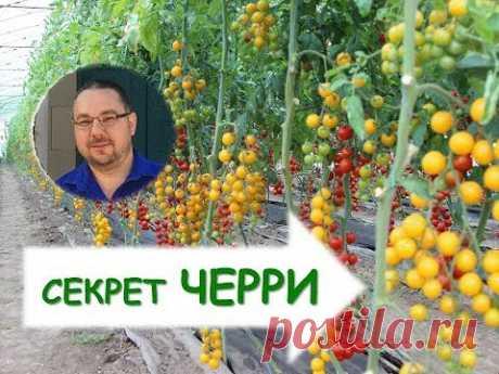 Как вырастить томаты черри? Секреты возделывания.