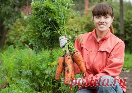 Лучшая подкормка для моркови (вот такая морковь вырастает) Подкормка и удобрения для моркови. О подкормке моркови йодом, куриным пометом, компостом, золой и дрожжами. Что дают такие удобрения растениям и в частности для моркови. Любые культурные растения требуется периодически подкармливать, даже если они растут на плодородной земле. Только при наличии необходимых веществ для полноценного развития и роста можно получить достойный урожай. Это касается и моркови, которая счи...