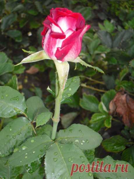 "Моя любимая роза _ ""Гейша"""