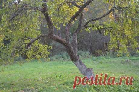 Чем опрыскать яблоню от парши осенью. Мои проверенные средства   Дачные секреты от Виктории Радзевской   Яндекс Дзен