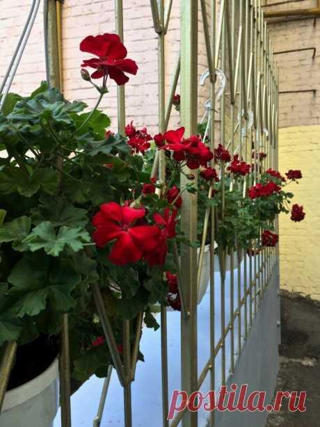 6 способов «зимовки» уличной пеларгонии   Идеальный сад   Яндекс Дзен