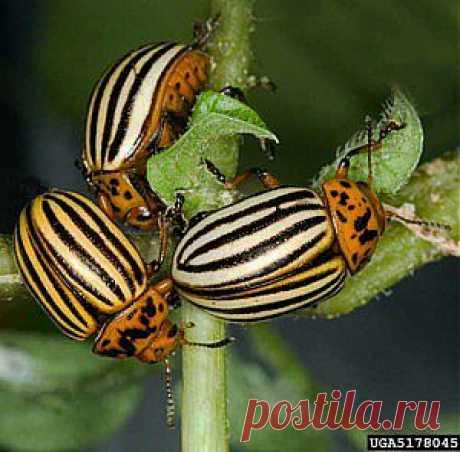 Народные средства и способы борьбы с колорадским жуком.