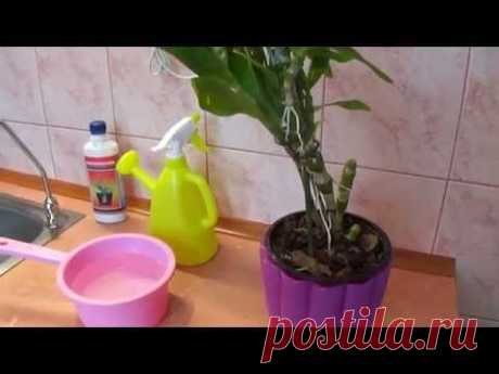 How to water an orchid dendrobium.