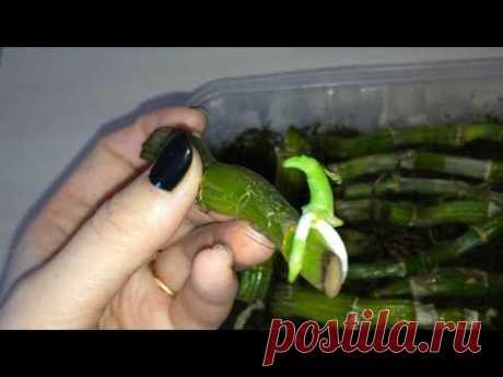 La reproducción de Dendrobiuma Nobile la PARTE 2. Sobre tres mangos han aparecido rostochki. Dendrobium ha dado al nene.