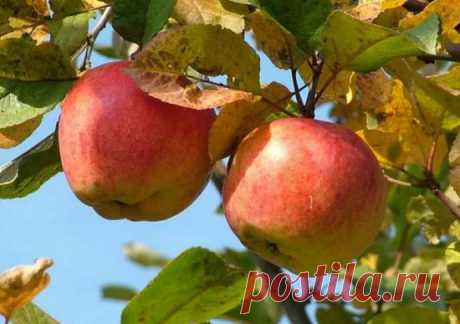 Why sometimes at apple-trees leaves redden and are twisted