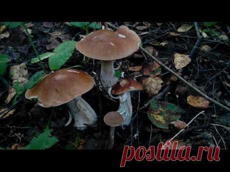 """Как засеять""""огород""""грибами,выращиваем белые"""