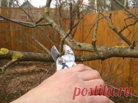 Когда и как обрезать яблони осенью? Важная особенность, о которой мало кто знает!