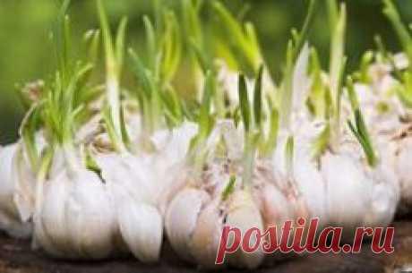 Как выполнить посадку озимого чеснока осенью под зиму правильно