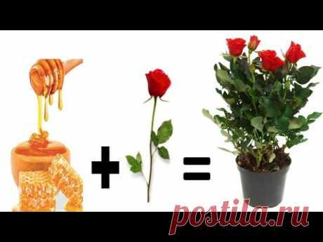 Balkonda Bal ile Gül Köklendirme Bu Kadar Kolay How to grow rose at home