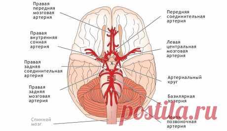 Villiziev el círculo: la anatomía, las variantes del desarrollo, la patología