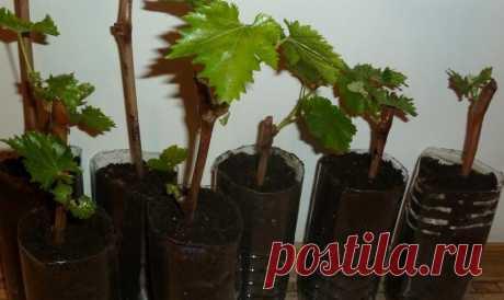 Как посадить виноград черенками зимой: выращивание на подоконнике, фото, видео