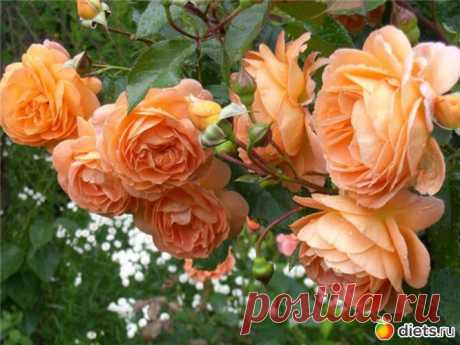 In total about roses from And to Ya. Mora of information.