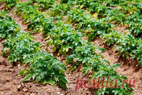 Landing of potatoes towards the winter – an excellent way to receive an early harvest