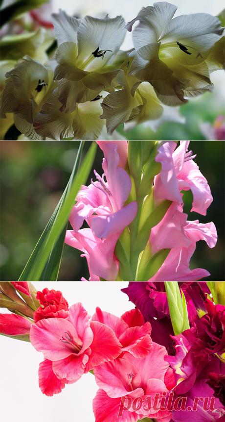 Гладиолусы посадка и уход: украшаем ландшафт лучшими цветами