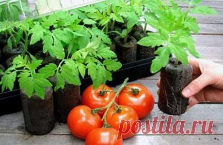 Способы выращивания рассады томатов Сколько овощеводов, сколько и методов выращивания рассады томатов. Если овощевод любознательный, желающий усовершенствовать агротехнику и постоянно впитывать и проверять на практике новые методы, то естественно уже владеет определённым опытом, которым с удовольствием делится с начинающими. Подробней: https://otomatah.ru/sposoby-vyrashhivaniya-rassady-tomatov.html