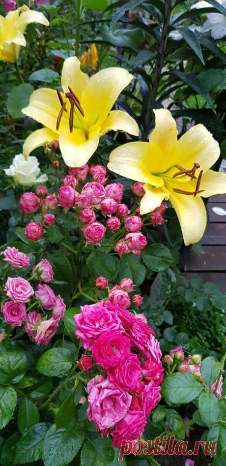 Каждую весну готовлю коктейль, после его применения даже слабые розы быстро начинают расти   MyFlowersDream.ru   Яндекс Дзен