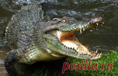 Жизнь крокодилов в дикой природе