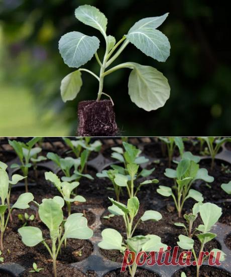 Почему вянет рассада капусты: причины увядания и методы профилактики — Огород Expert