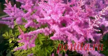 Ажурные кустики цветка можно увидеть во многих садовых участках, которые в зависимости от сорта могут быть высотой от 30 до 60 см. В садах и загородных участках выращивают в основном гибриды. Сегодня вы узнаете, как правильная посадка астильбы дает красивые пушистые соцветия, собранные в метелки.