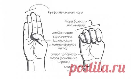 Объясняем модель головного мозга «на пальцах»