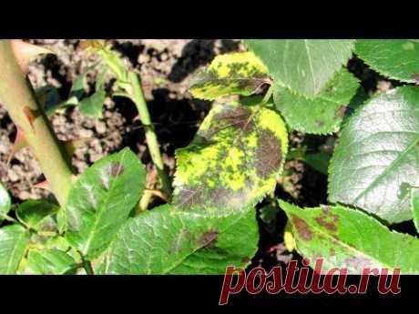 Как лечить розы от черной пятнистости