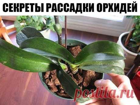 Секреты рассадки орхидей: как превратить одно растение в 100. Орхидея — это любимый цветок многих цветоводов. Он считается очень требовательным. Однако многие орхидеи хорошо растут в доме и без особого ухода. Если ты