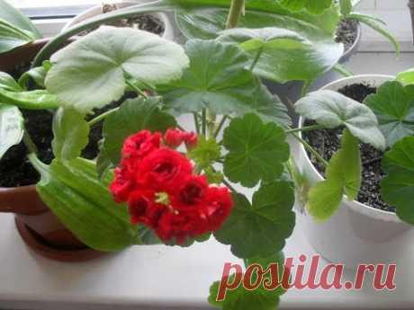 Использование Йода  для Герани( Пеларгонии)  для пышного цветения - YouTube