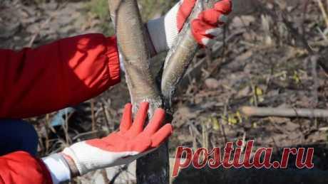 Как ухаживать за яблоней весной: советы по обрезке и побелке. Видео — Ботаничка.ru