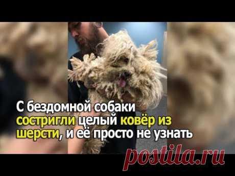 С этой бездомной собаки состригли целый ковёр из шерсти, и её просто не узнать - YouTube