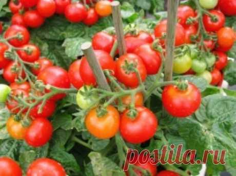 Маленькие секреты выращивания вкусных помидоров - Садоводка