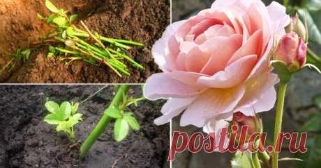 Как правильно черенковать розы: сроки, температура и секреты приживаемости Черенкование роз – один из самых простых и точно самый бюджетный способ размножения королевы цветов. Если вы никогда этим не занимались, самое время попробовать свои силы в таком увлекательном деле.