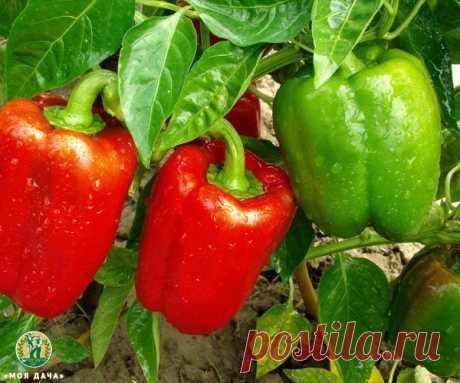 Урожая перца не будет, если его поливать неправильно. Поливаем перец правильно   «Моя Дача» — Растениеводство   Яндекс Дзен