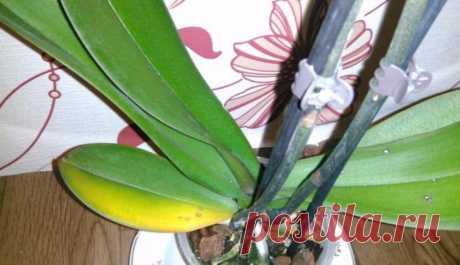 Опадают листья орхидеи — как спасти пожелтевшие листья Почему желтеют и опадают листья орхидеи? Причин этому может быть несколько:естественное увядание;погрешности в уходе и содержании цветка;болезни или вредители;несовместимость с соседями по подоконнику...