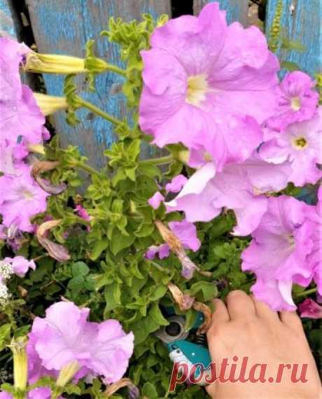 Как обрезать петунию в июле и запустить вторую волну цветения