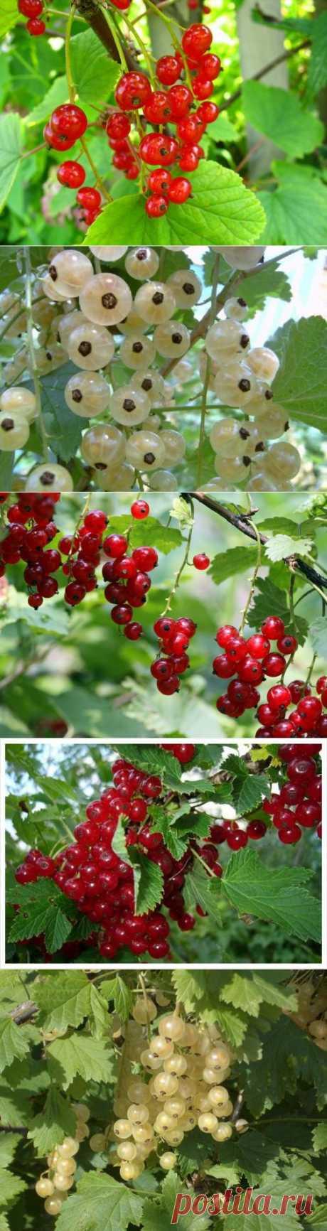 красная и белая: особенности выращивания и ухода, сорта | Самоцветик