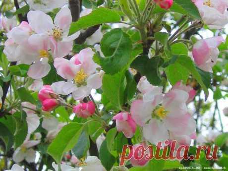 Обработка деревьев весной от вредителей и болезней. Рецепты для 8 плодово - ягодных растений. Пора позаботиться о ягодах