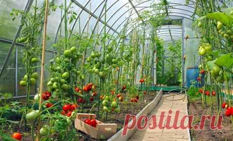 Правильная подвязка помидор – залог хорошего урожая   Дачники редко занимаются подвязкой огородных культур, в частности, томатов. Но это необходимо делать, чтобы куст не гнулся под тяжестью плодов, и за ним было проще ухаживать. Какие способы подвязки …