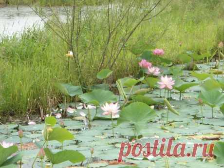 Изумрудная долина. Цветение лотосов..