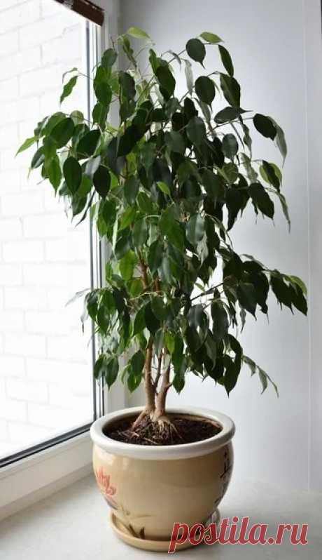 Почему у фикуса Бенджамина опадают листья? Как сохранить богатую крону? — Огород без хлопот