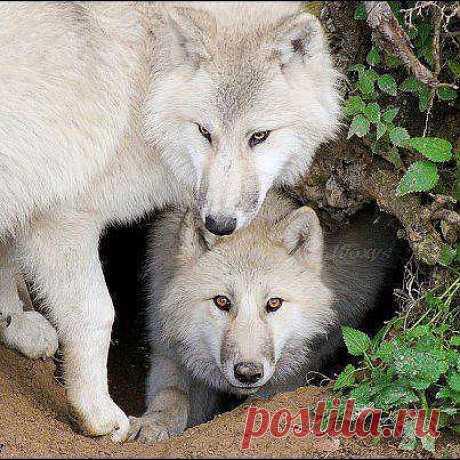 Два белых волка.  ---   Chronik-Fotos | Facebook