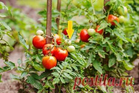 Нужно ли прекращать полив томатов   Садовичок   Яндекс Дзен