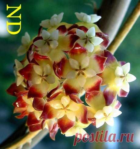 хойя  callistophylla фото инета.