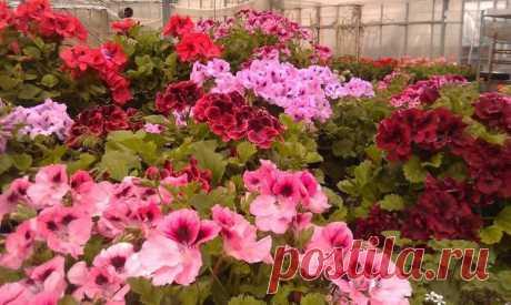 Что сделать для обильного цветения герани