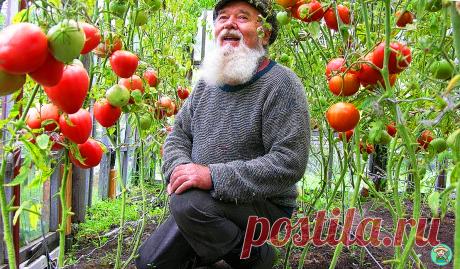 Подкормка томатов, которой со мной поделился 80 летний ПРОФЕССОР аграрных наук. Делюсь его методом | 6 соток