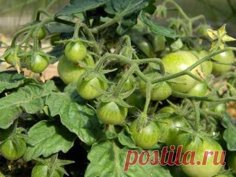 ¡Todos Los tomates Serán En Zavyazi! Si Hacéis Estos Pasos Importantes a la Cosecha.